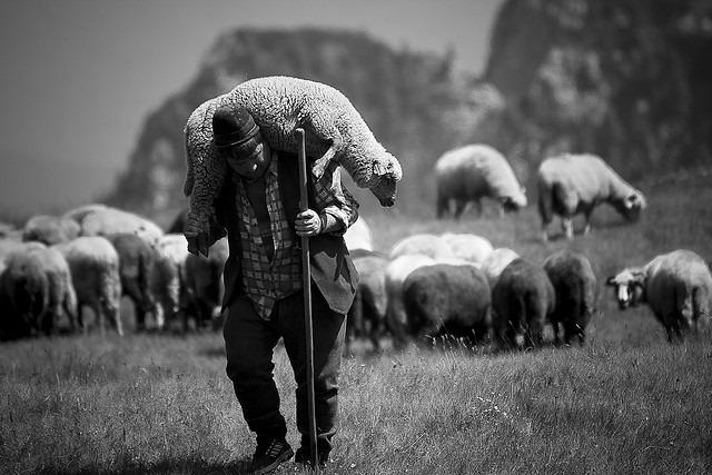 shepherdcarrysheep4-1