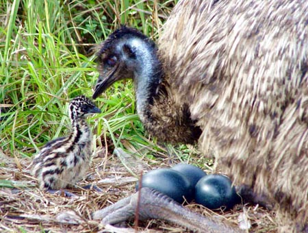 Emu Natural Incubation